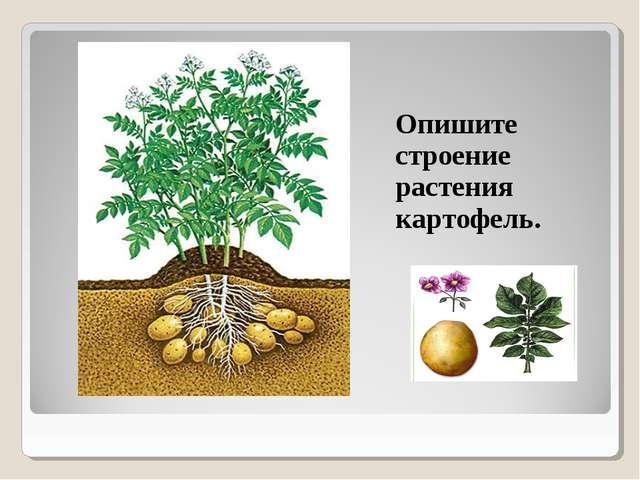 Опишите строение растения картофель.