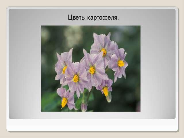 Цветы картофеля.