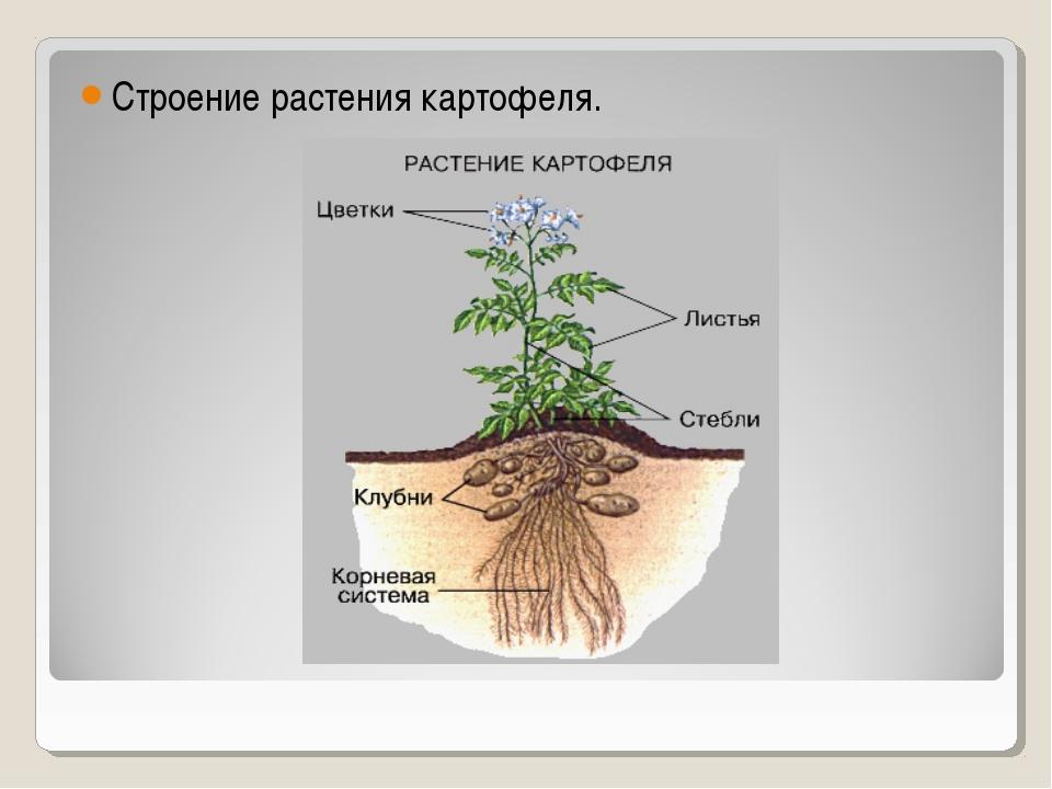 Строение растения картофеля.