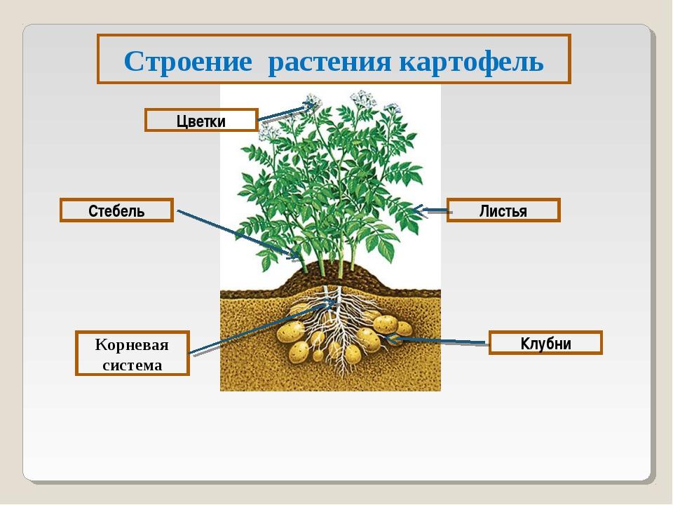 Строение растения картофель Цветки Корневая система Стебель Листья Клубни
