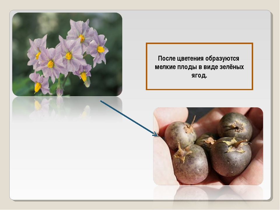 После цветения образуются мелкие плоды в виде зелёных ягод.