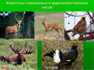 Животные смешанных и широколиственных лесов Олень Косуля Лось Дрозд Тетерев