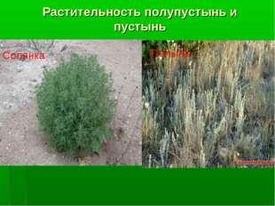 Растительность полупустынь и пустынь Полынь Солянка