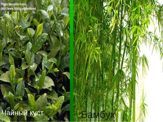 Чайный куст Бамбук