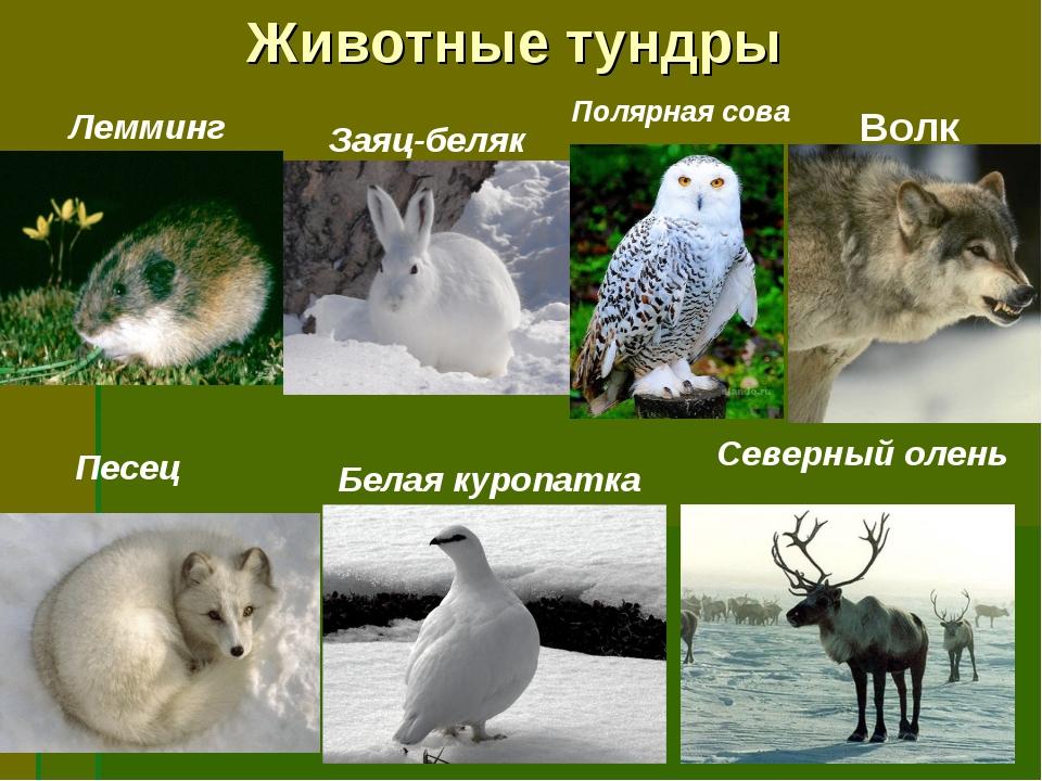 Животные тундры Лемминг Заяц-беляк Полярная сова Песец Белая куропатка Северн...