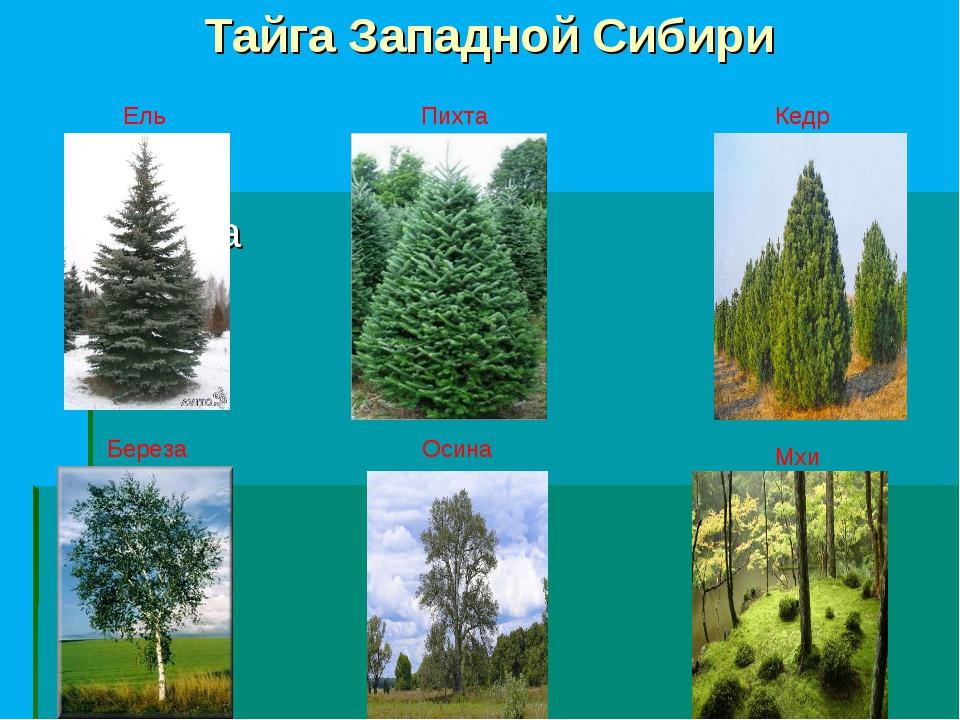 Тайга Западной Сибири Береза Ель Пихта Кедр Береза Осина Мхи