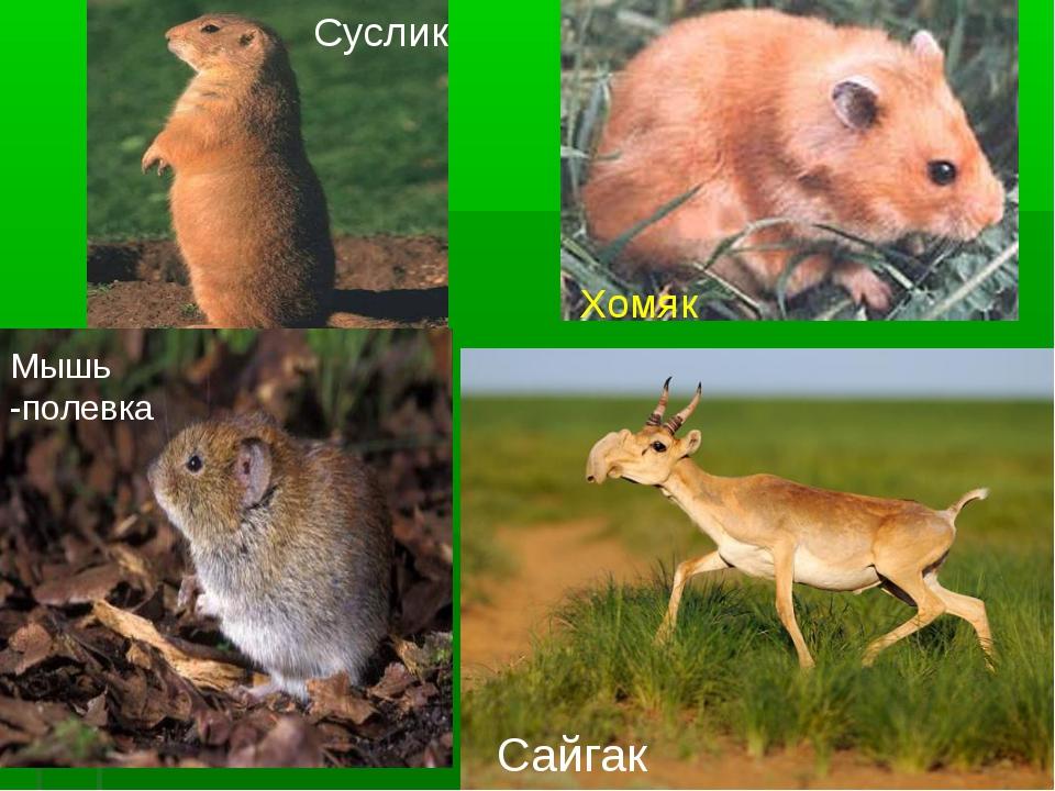 Суслик Хомяк Мышь -полевка Сайгак