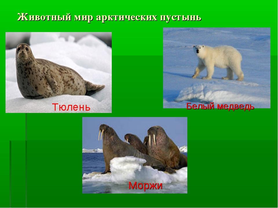 Животный мир арктических пустынь Тюлень Моржи Белый медведь
