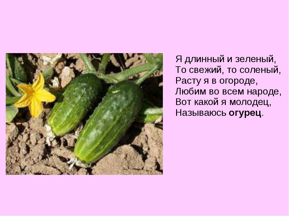 Я длинный и зеленый, То свежий, то соленый, Расту я в огороде, Любим во всем...