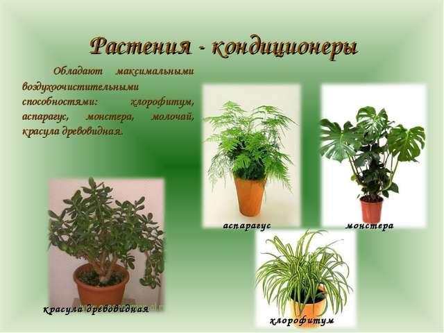 Растения - кондиционеры Обладают максимальными воздухоочистительными способн...
