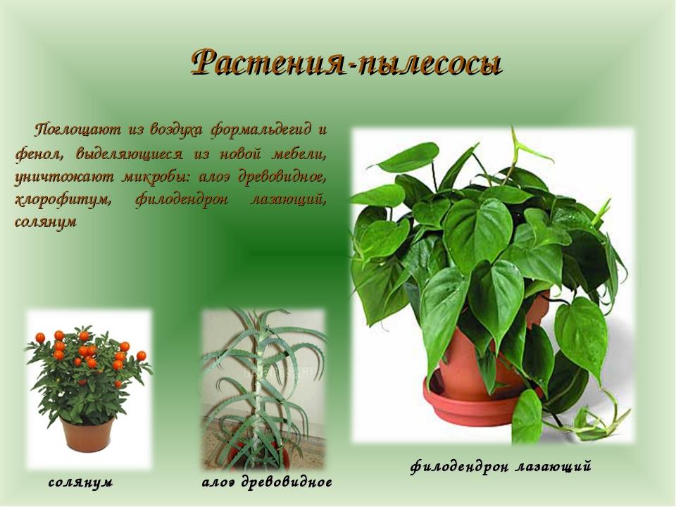 Растения-пылесосы Поглощают из воздуха формальдегид и фенол, выделяющиеся из...