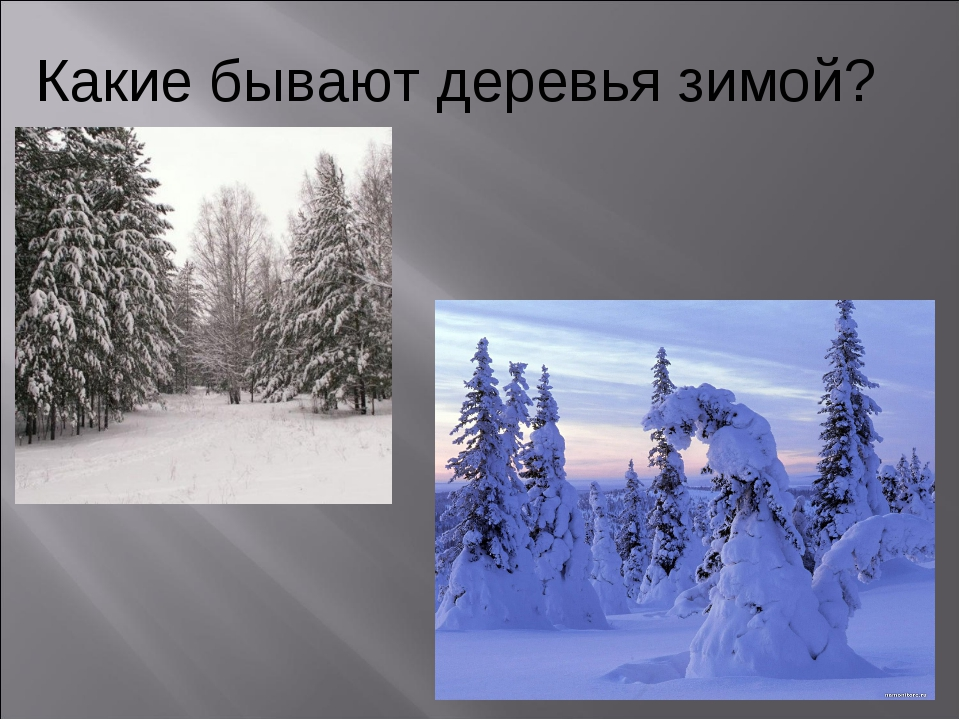 Какие бывают деревья зимой?