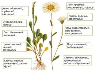 Плод: продолговатый, буро-зеленый, кососрезанный Цветок: обоеполый, трубчатый