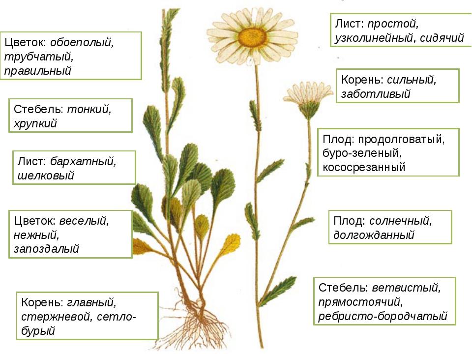 Плод: продолговатый, буро-зеленый, кососрезанный Цветок: обоеполый, трубчатый...