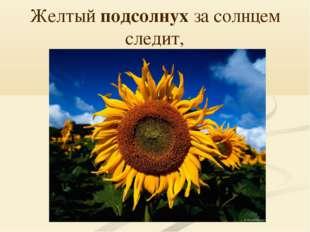 Желтый подсолнух за солнцем следит,