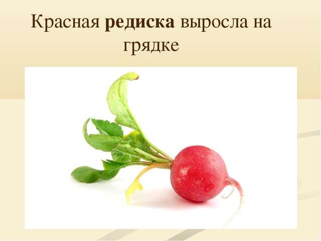 Красная редиска выросла на грядке