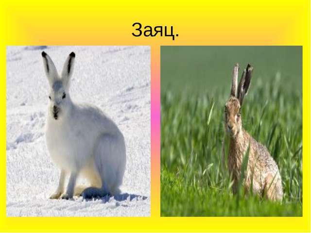 Заяц.