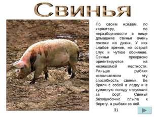 По своим нравам, по характеру, по неразборчивости в пище домашние свиньи очен
