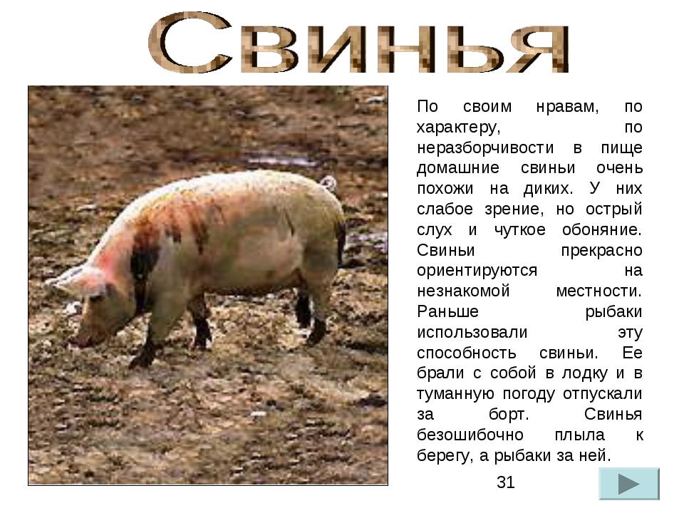 По своим нравам, по характеру, по неразборчивости в пище домашние свиньи очен...