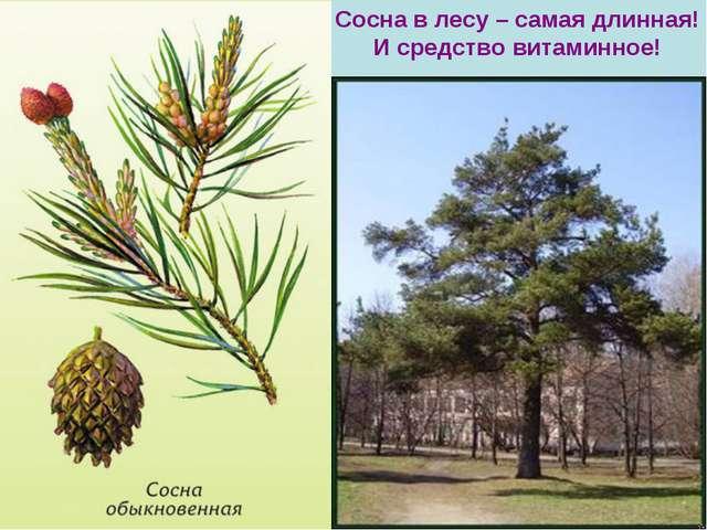 Сосна в лесу – самая длинная! И средство витаминное!