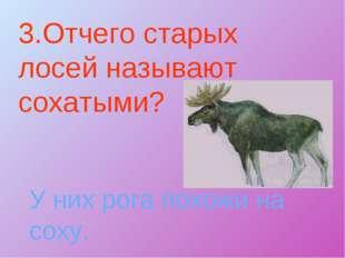 3.Отчего старых лосей называют сохатыми? У них рога похожи на соху.