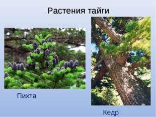 Растения тайги Пихта Кедр