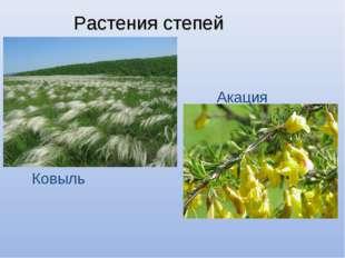 Растения степей Ковыль Акация