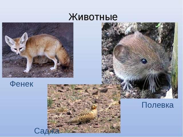 Животные Фенек Полевка Саджа