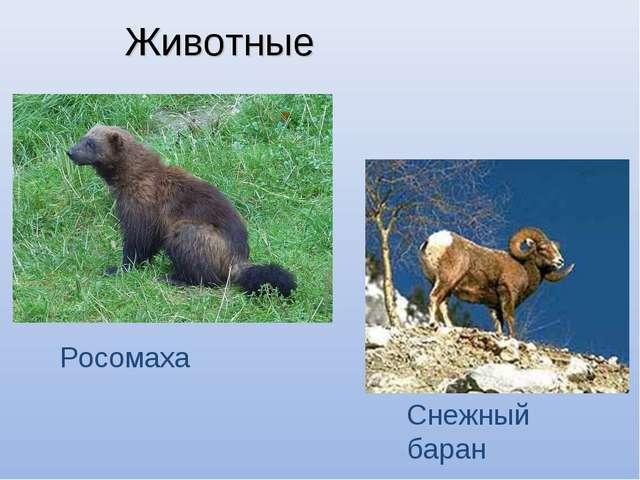 Животные Росомаха Снежный баран