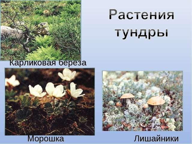 Карликовая береза Лишайники Морошка