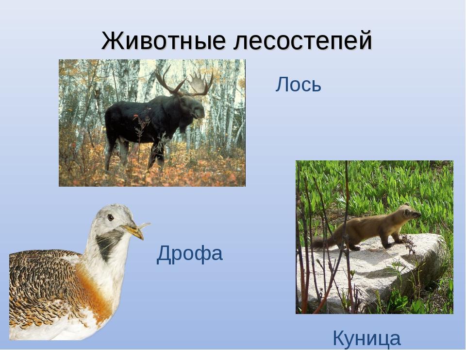 Животные лесостепей Лось Куница Дрофа