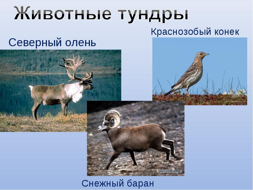 Северный олень Снежный баран Краснозобый конек