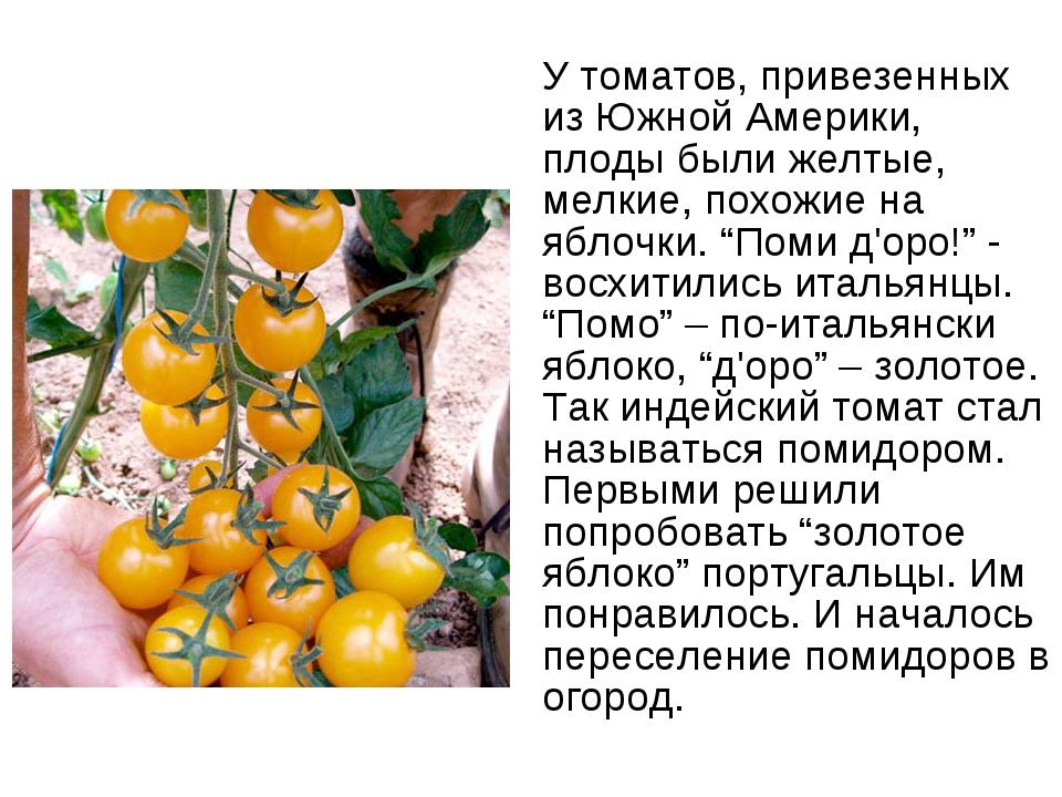 У томатов, привезенных из Южной Америки, плоды были желтые, мелкие, похожие н...