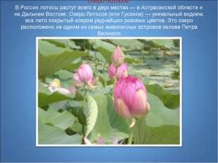 Озеро Лотосов В России лотосы растут всего в двух местах — в Астраханской об