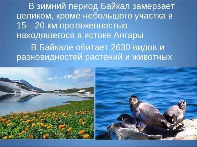 В зимний период Байкал замерзает целиком, кроме небольшого участка в 15—20 к...
