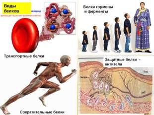 Транспортные белки Сократительные белки Белки гормоны и ферменты Защитные бел