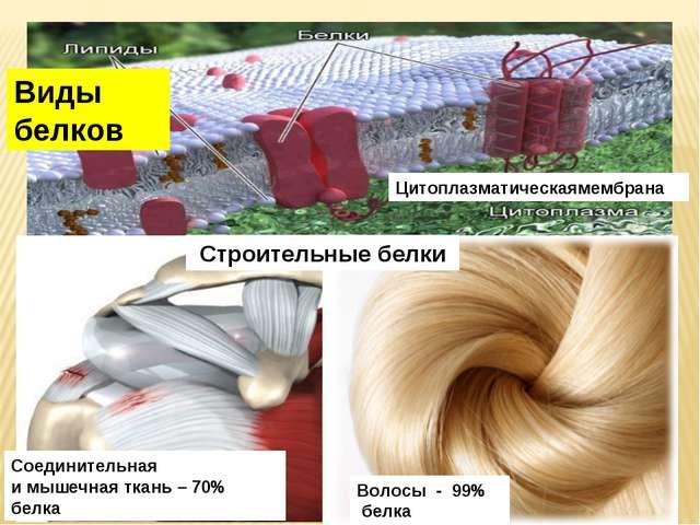 Строительные белки Виды белков Цитоплазматическаямембрана Волосы - 99% белка...