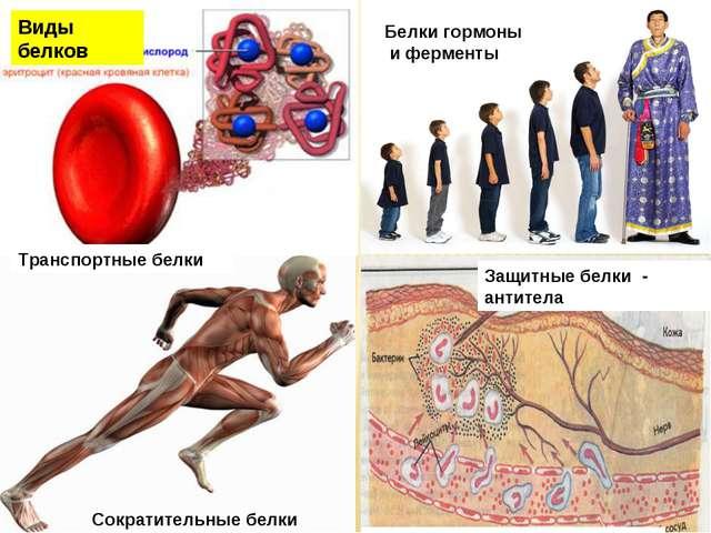 Транспортные белки Сократительные белки Белки гормоны и ферменты Защитные бел...