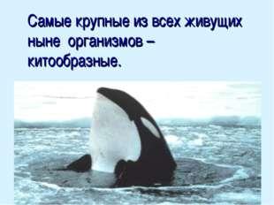 Самые крупные из всех живущих ныне организмов – китообразные.