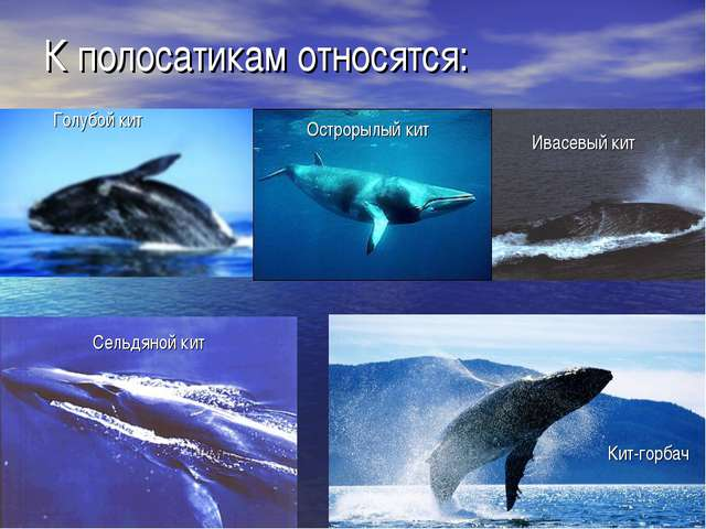 К полосатикам относятся: Голубой кит Острорылый кит Сельдяной кит Ивасевый ки...