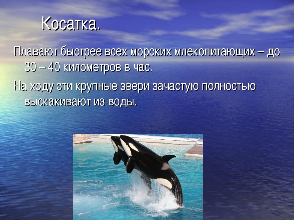 Косатка. Плавают быстрее всех морских млекопитающих – до 30 – 40 километров в...