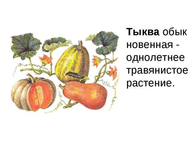 Тыкваобыкновенная - однолетнеетравянистое растение.