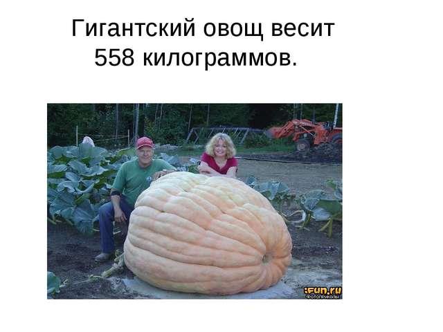 Гигантский овощ весит 558килограммов.
