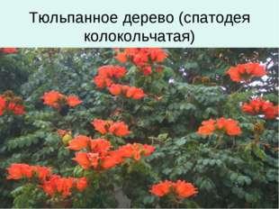 Тюльпанное дерево (спатодея колокольчатая)