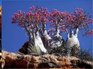 Обезьянье дерево (баобаб)