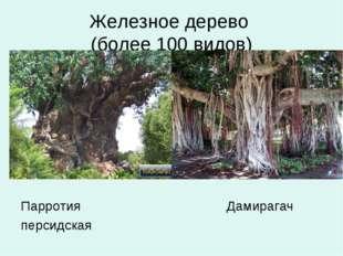 Железное дерево (более 100 видов) Парротия Дамирагач персидская