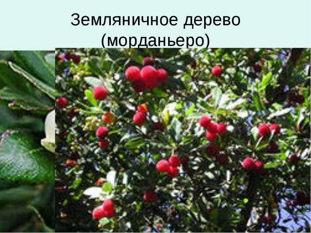 Земляничное дерево (морданьеро)