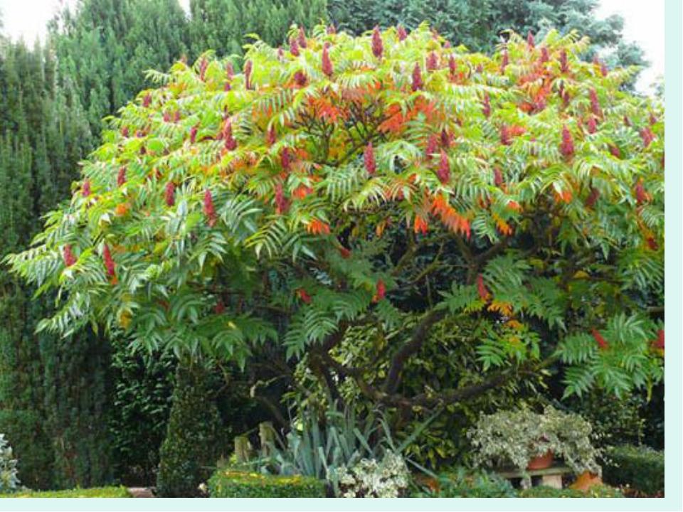 Уксусное дерево (сумах)