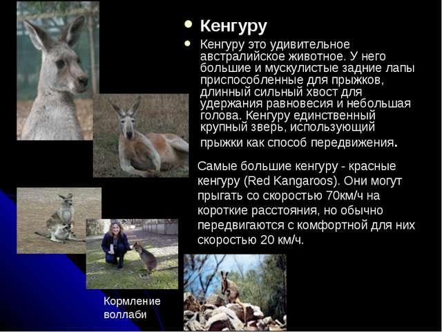 Кенгуру Кенгуру это удивительное австралийское животное. У него большие и мус...
