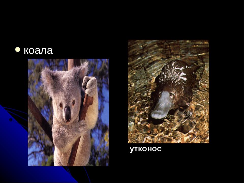 коала утконос
